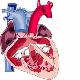 Желудочек сердца единственный