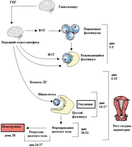 Климактерические расстройства (климакс)